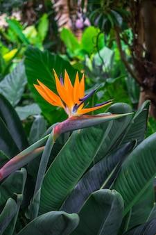 Flor de strelitzia