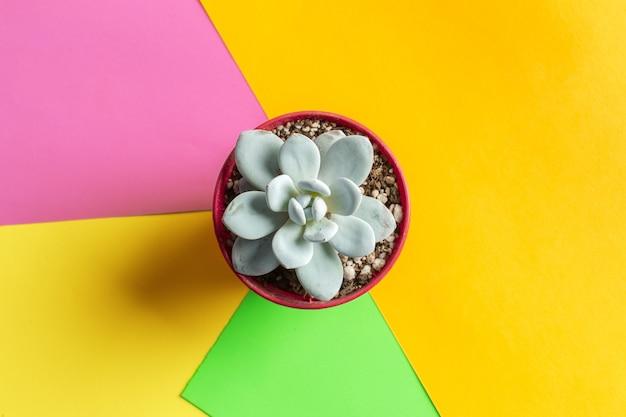 Flor suculenta en el fondo de color brillante endecha plana, vista superior
