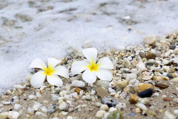 Flor tropical plumeria alba en la playa