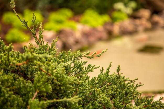 Flor de tuia holandesa follaje de plantas