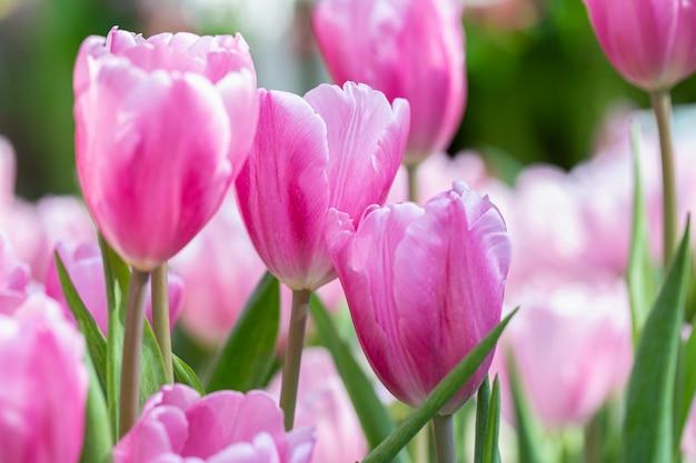 Flor de tulipán en campo de tulipanes.