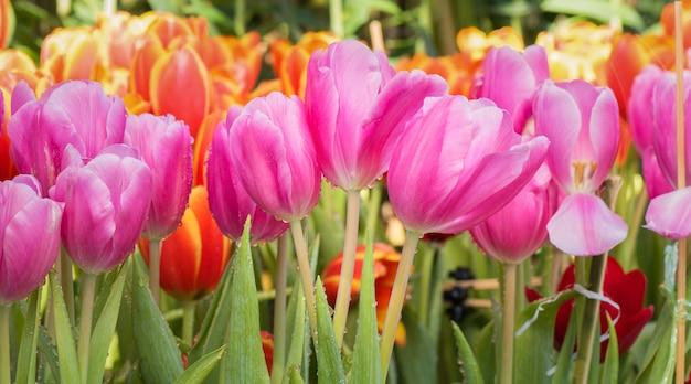 Flor de tulipán colorido en jardín natural
