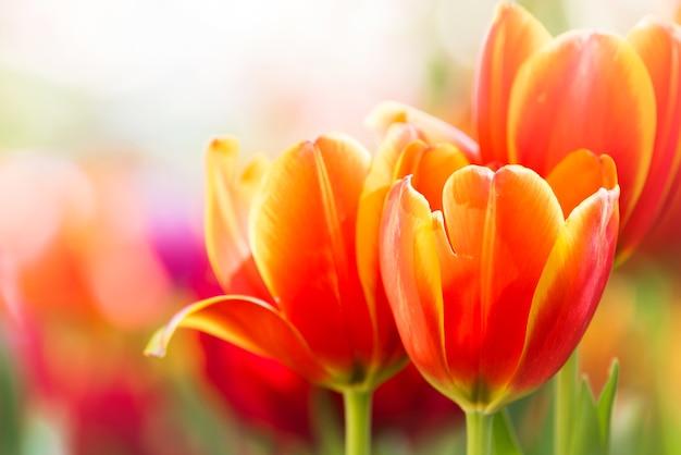 Flor de tulipán colorido