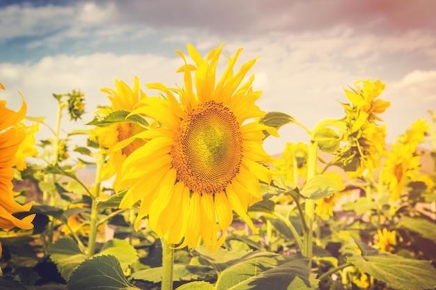 Flor de verano y campo de girasol con luz solar, vintage tonos.