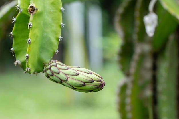Flor verde fresca de la fruta del dragón en tiempo de mañana en la granja