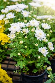 Flor de zinnia colorido
