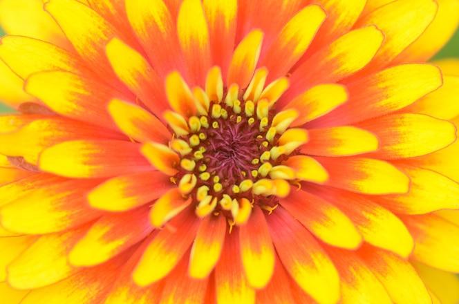 Flor zinnia como fondo