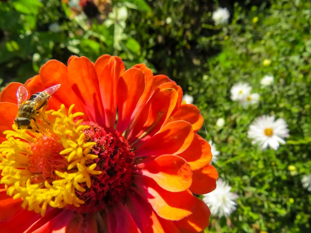 Flor de zinnia en jardin