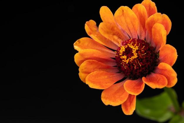 La flor del zinnia major brillante sobre un fondo negro