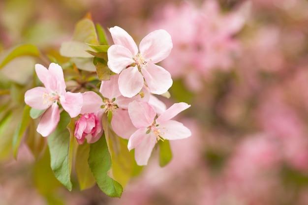 Floración china de la manzana de cangrejo que florece. capullo de rosa sobre una rama de manzano en flor de primavera.