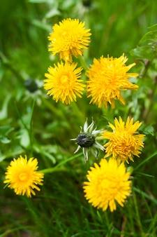 Floración del diente de león amarillo en primavera