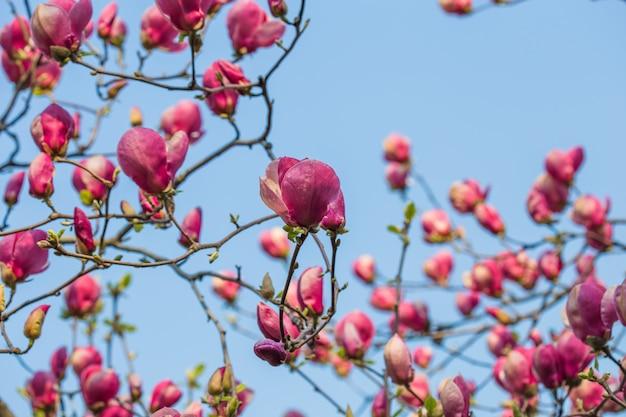 Floración magnolia tulip tree. magnolia china soulangeana magnoliaceae flor con flores en forma de tulipán en el jardín de primavera. tiro macro