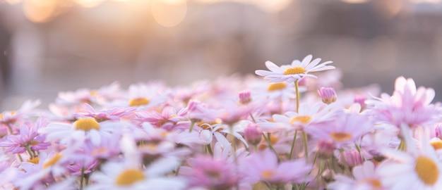 Floración de margaritas de color blanco púrpura con luz solar y fondo bokeh, concepto de jardinería, panorama