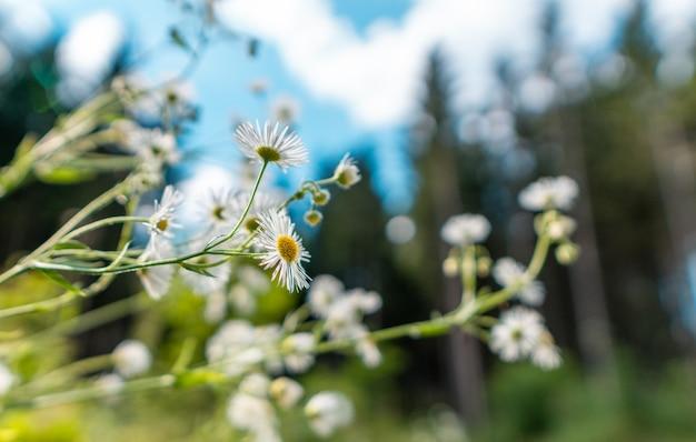 Floración de margaritas. margarita ojo de buey, leucanthemum vulgare, margaritas, dox-eye, margarita común, margarita perro, margarita luna. concepto de jardinería