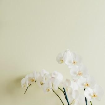 Floración de orquídeas blancas