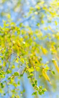 Floración primaveral de abedul.