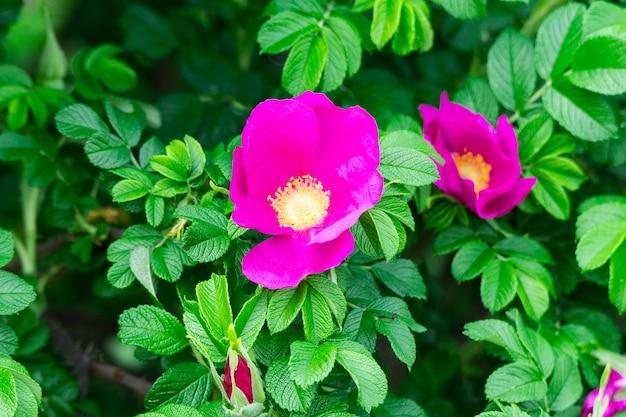 Floración rosa arbusto