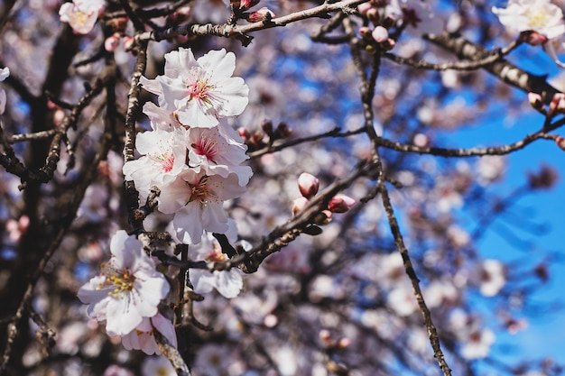 Floraciones de primavera. el almendro hermoso florece contra el cielo azul. flores de primavera. hermoso jardín en primavera.