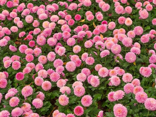Florece el prado de flores de crisantemo y margarita fresco y natural
