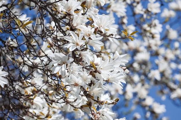 Floreciente árbol de magnolia