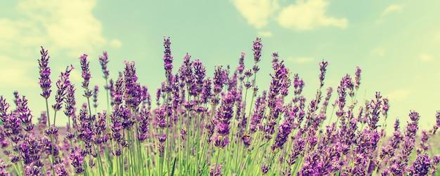 Floreciente campo de lavanda. flores de verano.