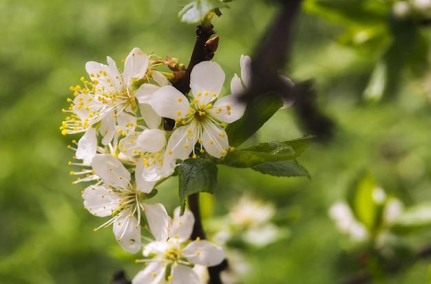 Florecimiento de las flores de cerezo o ciruela en primavera con hojas verdes, macro.