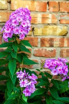 Florecimiento de flores de jardín violeta phlox, phlox paniculata, género de plantas herbáceas con flores.