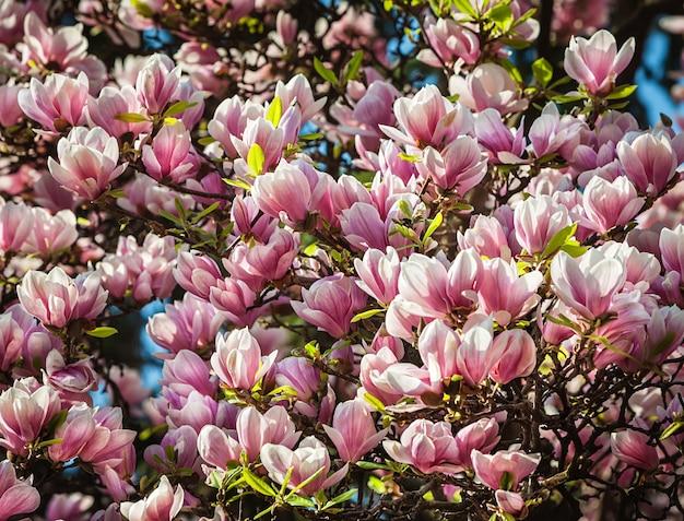 Florecimiento de flores de magnolia