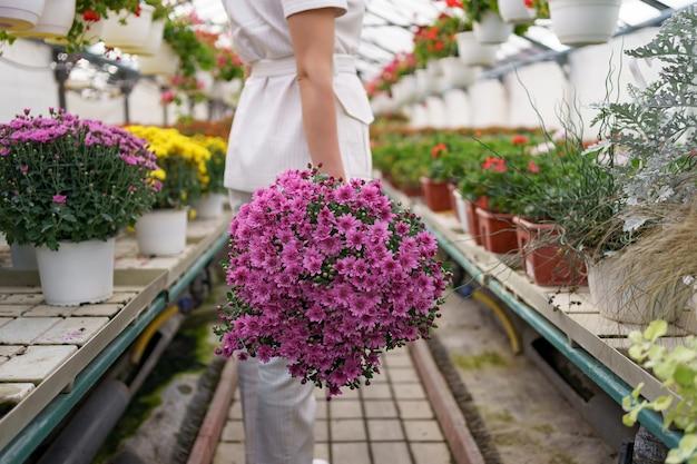 Floreria en su vivero llevando una maceta con crisantemos en sus manos mientras camina por el invernadero