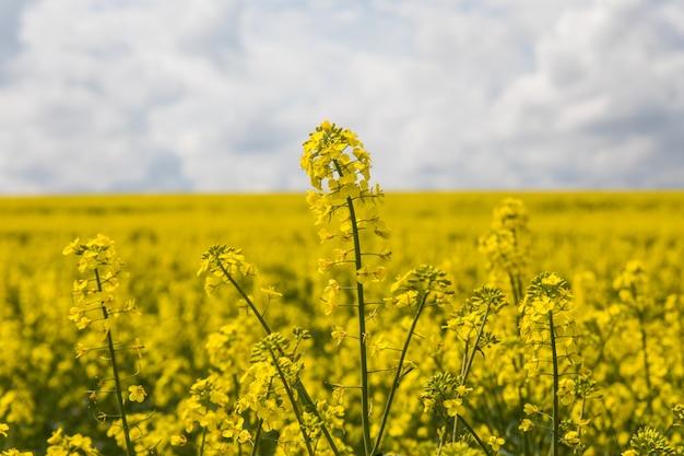 Flores de aceite en campo de colza con cielo azul y nubes.