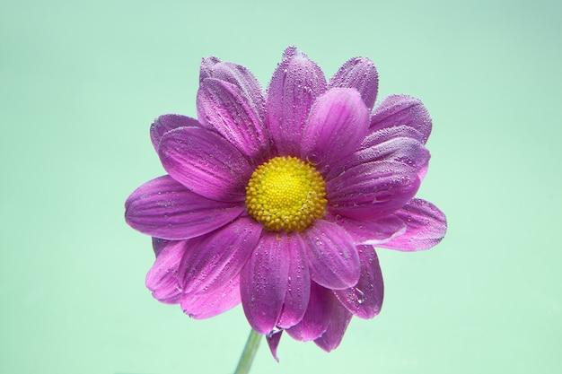 Flores bajo el agua, crisantemo morado con burbujas de aire en lilas