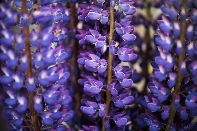 Flores de altramuz en un ramo