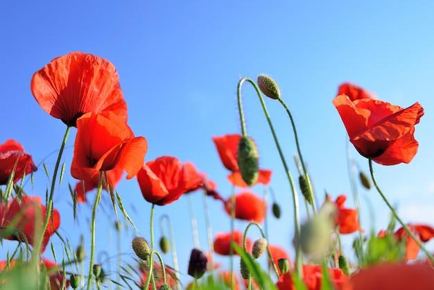 Flores de amapola rojas en un campo