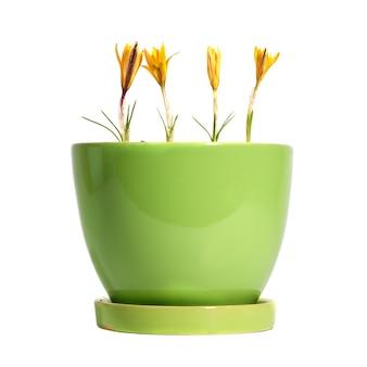 Flores amarillas azafrán crocus sativus con hojas verdes en la maceta aislado en blanco