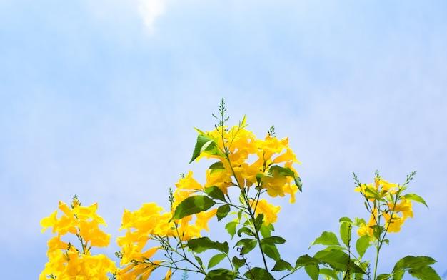 Flores amarillas en el cielo azul claro, espacio de la copia.