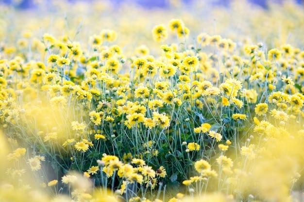 Flores amarillas del crisantemo, crisantemo en el jardín.