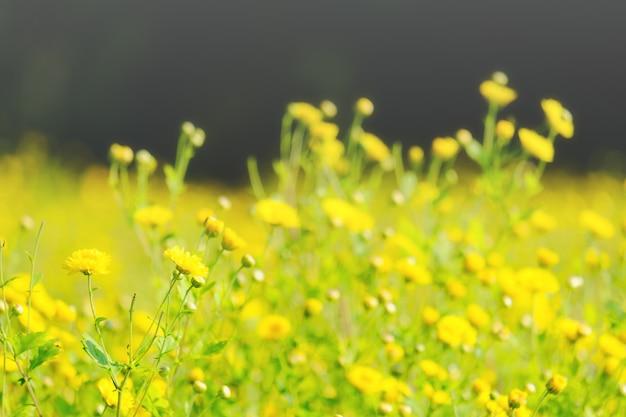 Las flores amarillas del crisantemo florecen en el jardín