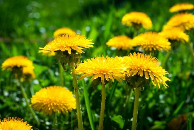 Flores amarillas de diente de león con hojas en la hierba verde