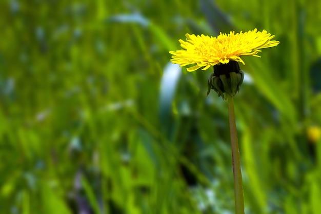 Flores amarillas del diente de león sobre la hierba verde