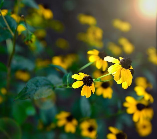 Flores amarillas en flor rudbeckia triloba