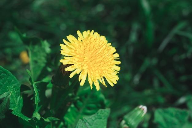 Flores amarillas florecientes del diente de león taraxacum officinale en jardín en primavera. detalle de dientes de león comunes brillantes en prado en primavera.
