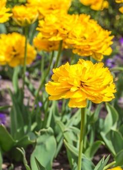 Flores amarillas en el jardín.