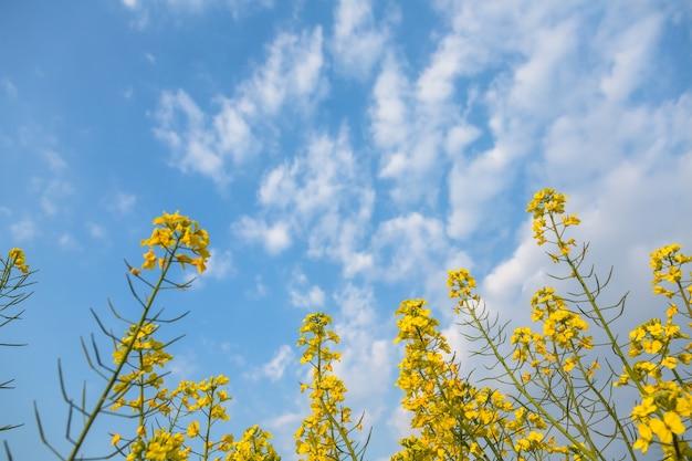 Flores amarillas de la violación en la parte posterior
