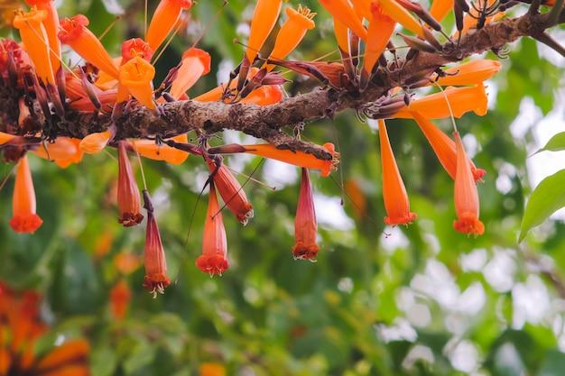 Flores anaranjadas del ignea de radermachera o jazmín de árbol en jardín.
