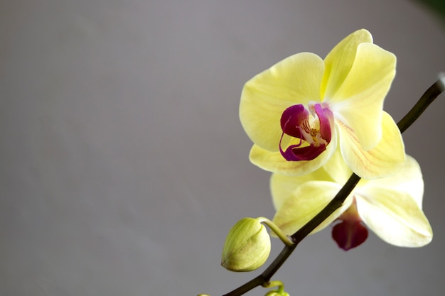 Flores apacibles hermosas de las orquídeas del phalaenopsis en un fondo gris.