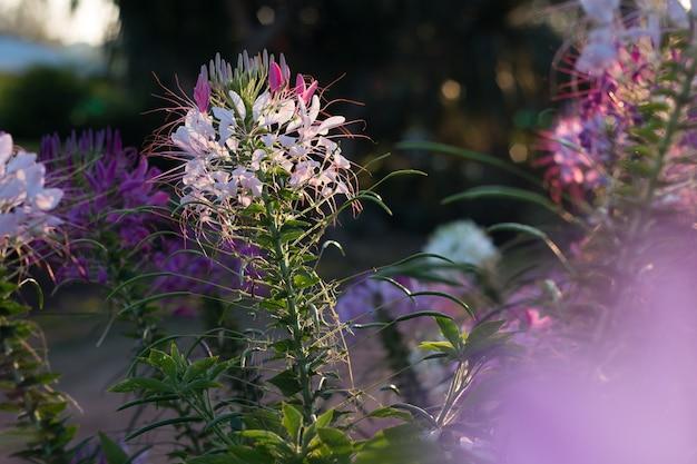Las flores de la araña o cleome spinosa linn están flotando en la llamarada del tiempo del aumento del sol en otoño