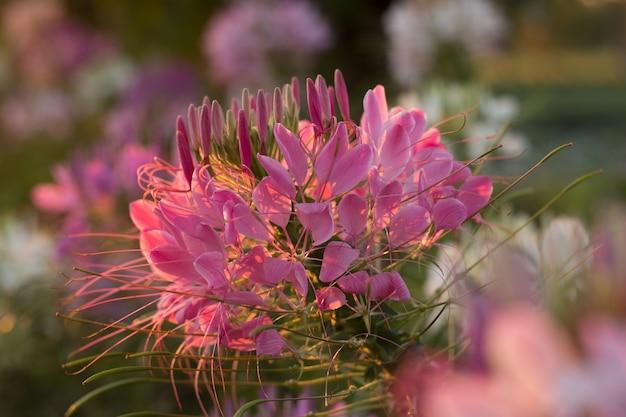 Las flores de la araña o cleome spinosa linn son bllooming en tiempo de subida de sol en otoño