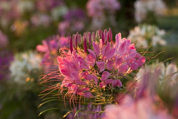 Las flores de araña o cleome spinosa linn son relucientes en el tiempo de subida del sol en otoño