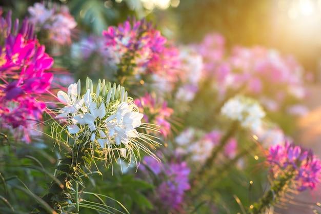 Las flores de araña o cleome spinosa linn se vuelven relucientes debido al tiempo de subida del sol en otoño