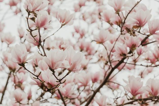 Flores de árbol de flor de magnolia rosa, cerca de la rama, al aire libre.